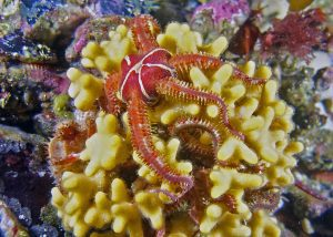 brittle star alaska scuba dive diving