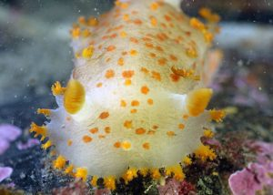 clown nudibranch scuba diving alaska dive