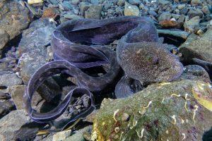 scuba dive alaska juvenile wolf eel