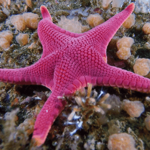 vermillion starfish